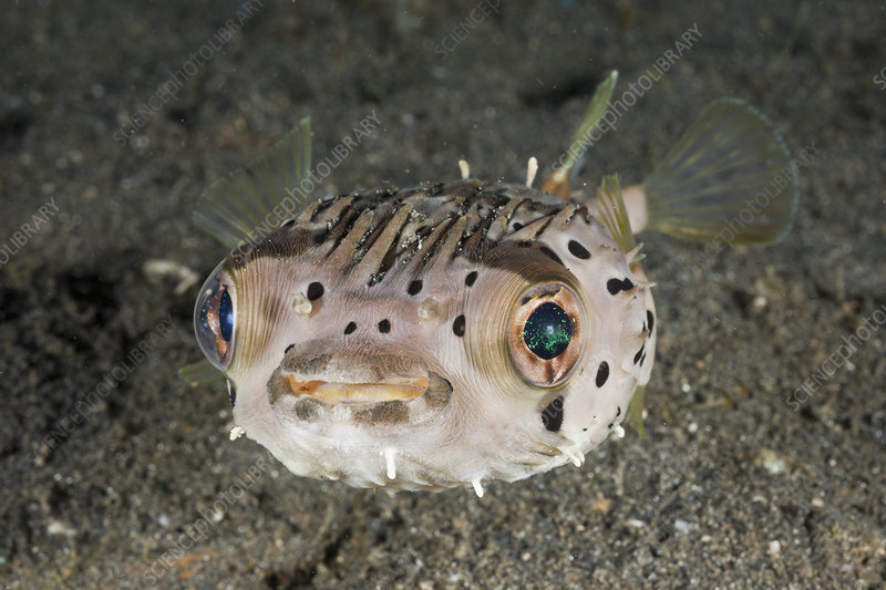 Balloon or Porcupinefish