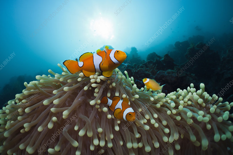 Family of Clown Anemonefish