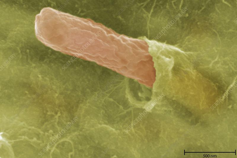 Bacteria, Bradyrhizobium japonicum