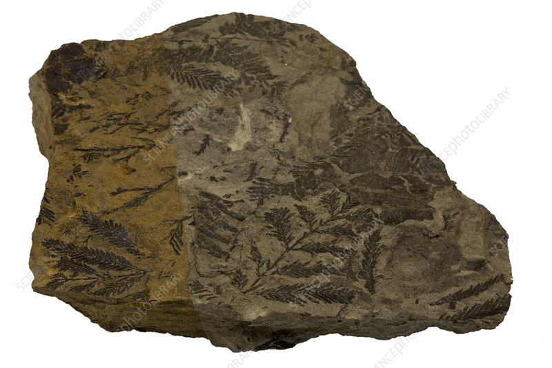 Fossil Dawn Redwood leaves