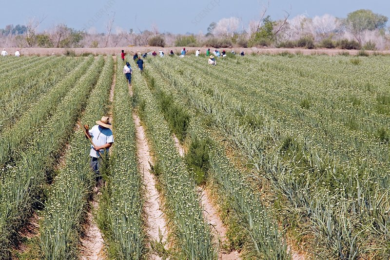 Workers tending crops, USA