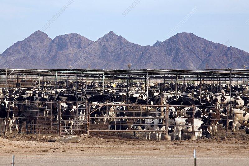 Intensive cattle farm, USA