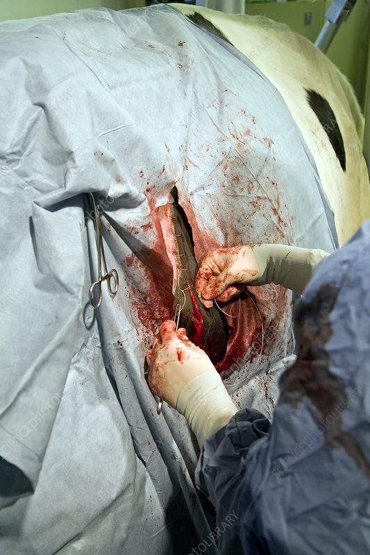 Veterinarian operating on a cow