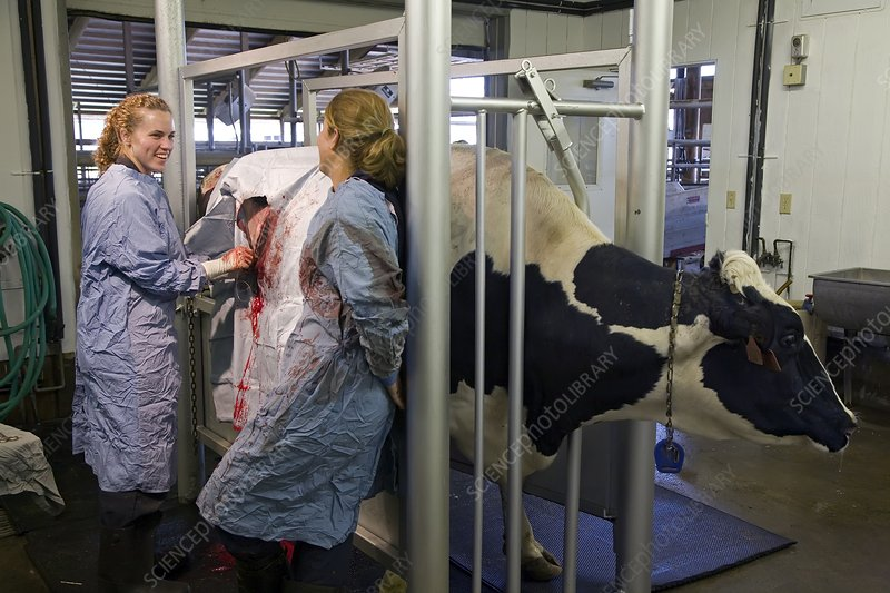 Veterinarians operating on a cow