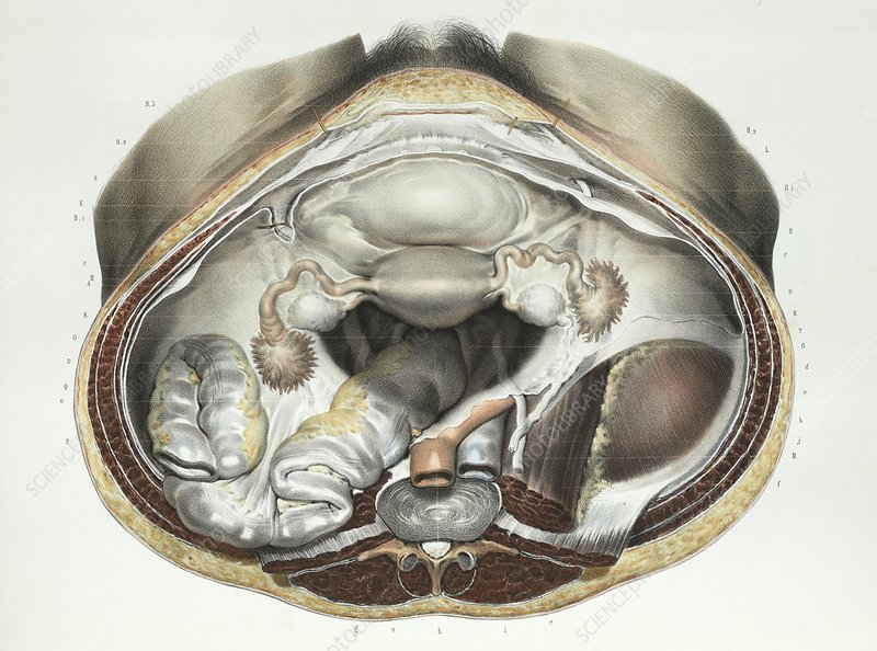 Female reproductive system, 1839 artwork
