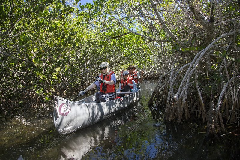 Tourists canoeing in mangrove swamp