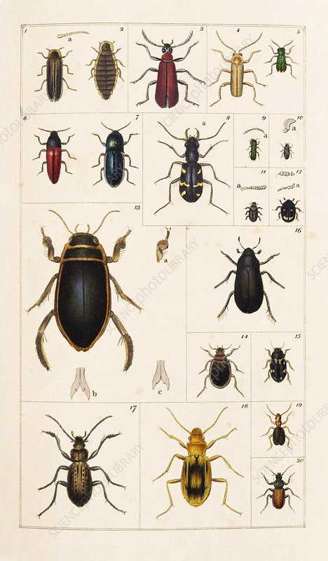 Beetles, 19th century artwork
