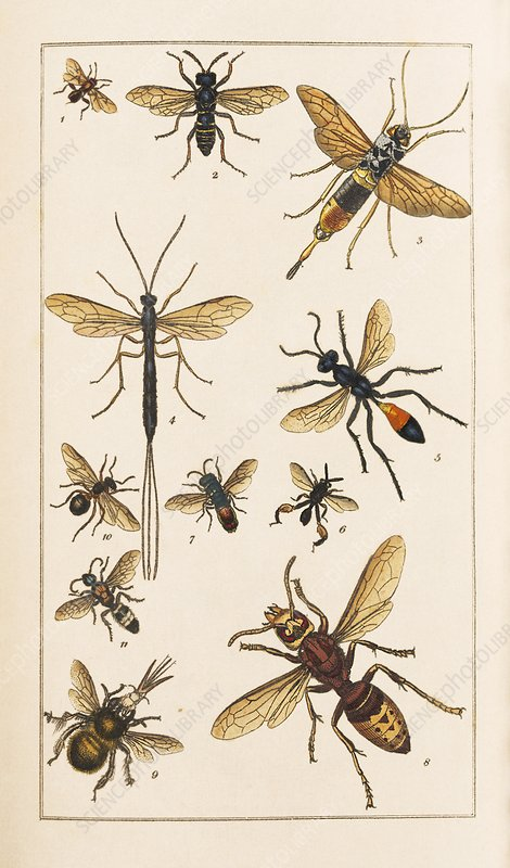 Insects, 19th century artwork