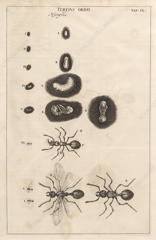 Ant life cycle, 17th century artwork