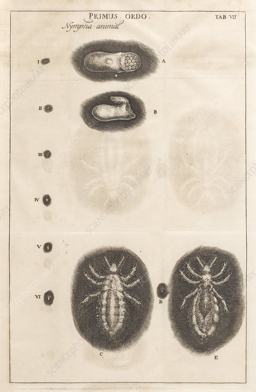 Louse life cycle, 17th century artwork