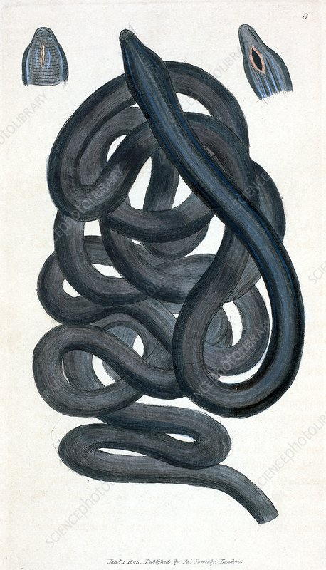 Bootlace worm, 19th Century artwork