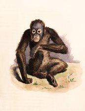 Orangutan, 19th century artwork
