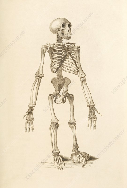 Chimpanzee skeleton, 19th century artwork