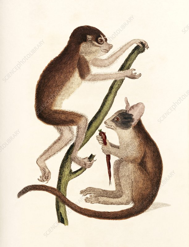 Loris and bushbaby, 19th century artwork