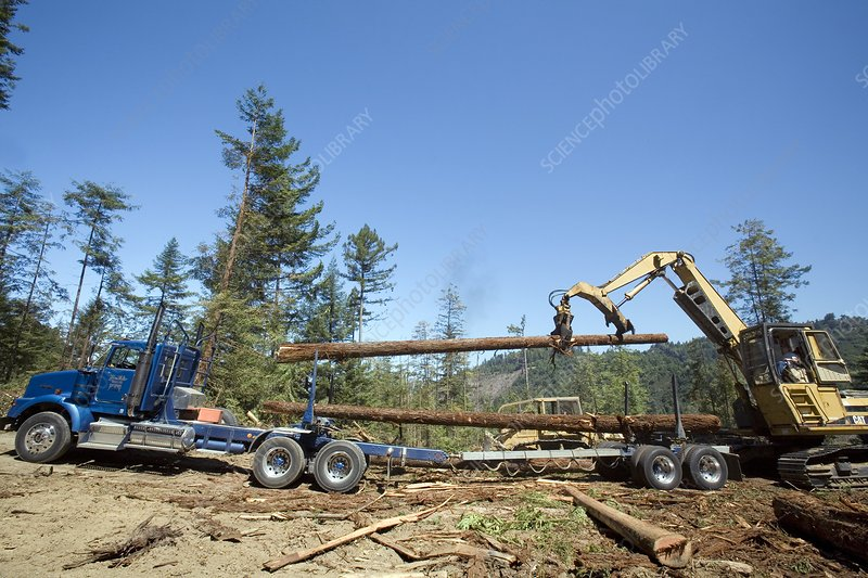 Logging redwood trees, California, USA