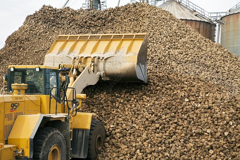 Harvested sugar beets