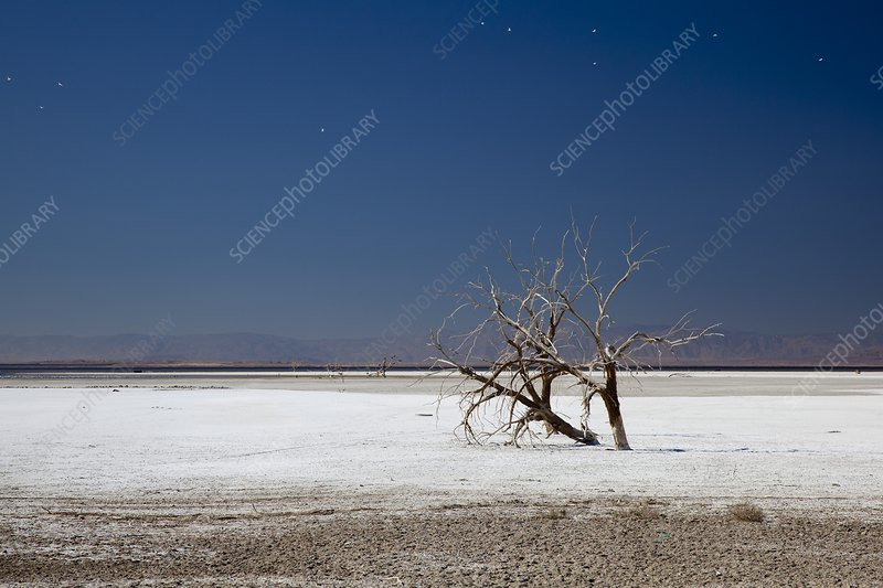 Dead trees on salt flat, Salton Sea