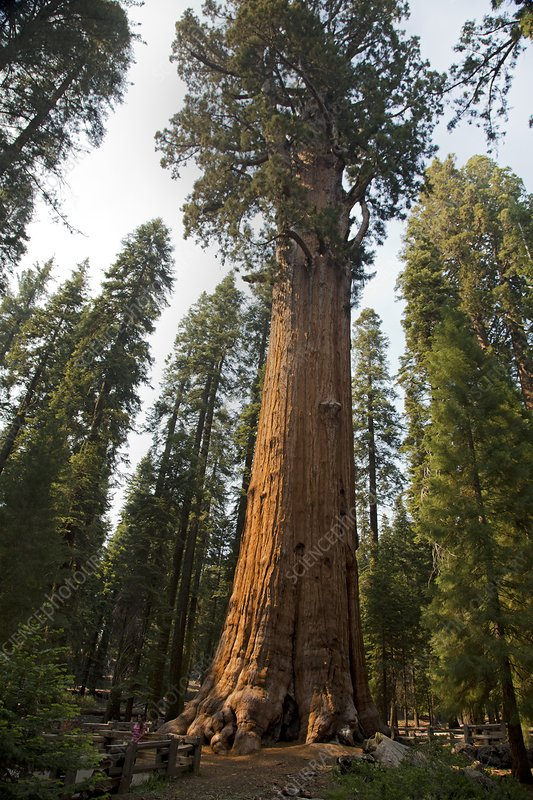General Sherman, Giant Sequoia tree