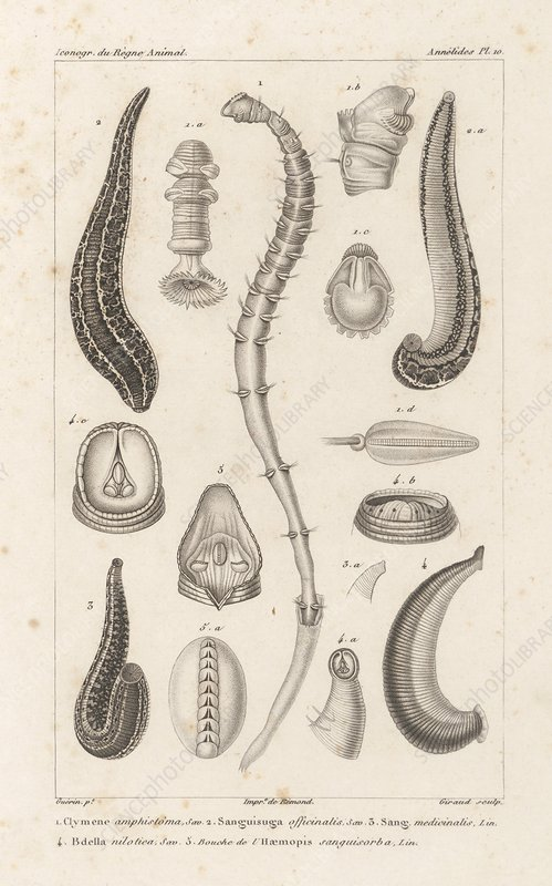 Annelid worms, 19th century artwork