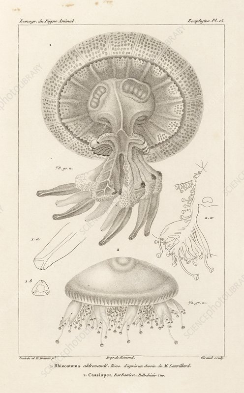 Jellyfish, 19th century artwork