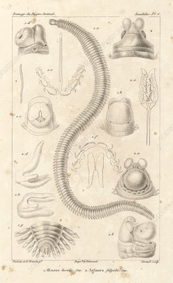 Polychaete worms, 19th century artwork