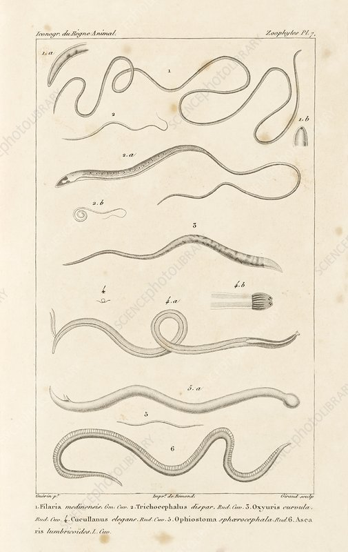 Parasitic worms, 19th century artwork