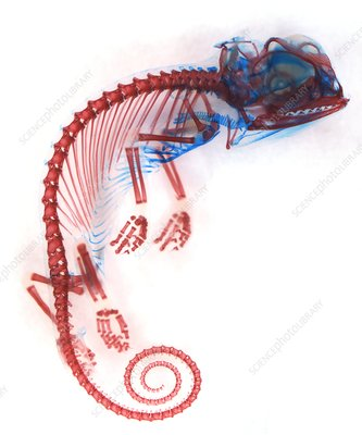 Veiled chameleon embryo skeleton