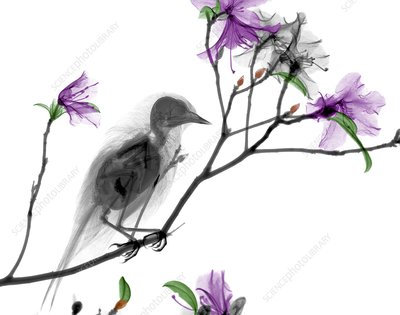 Bird on azalea branch, X-ray
