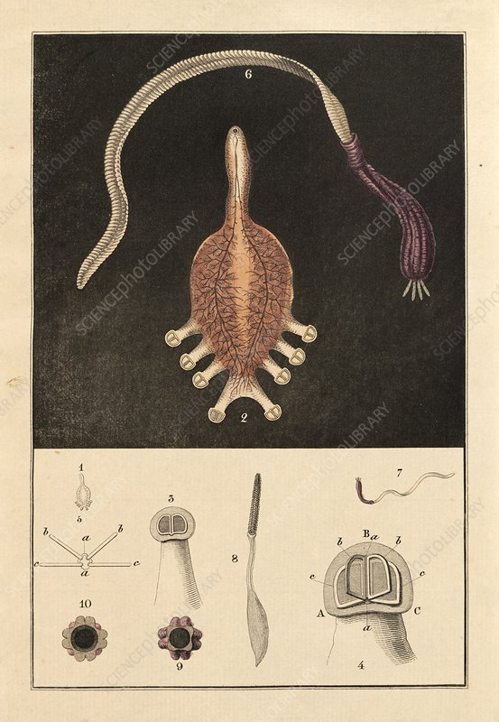 Fish parasites, 19th century artwork