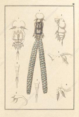 Copepod, 19th century artwork