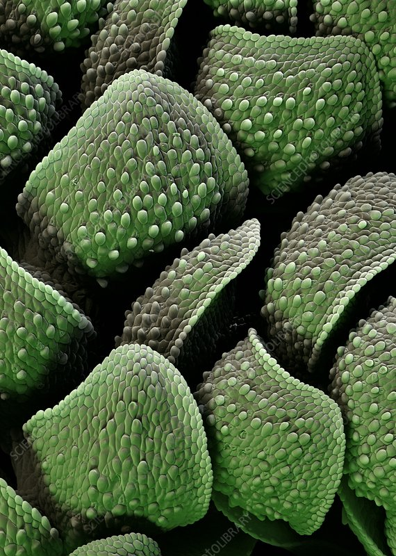 Azolla plant surface, SEM