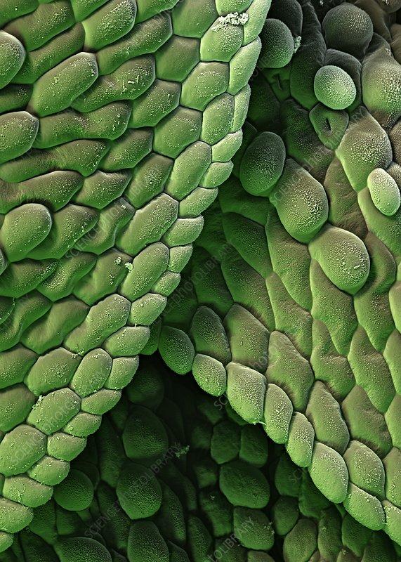 Azolla plant surface, SEM