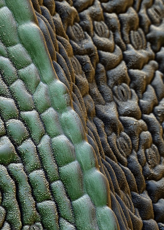 Flax leaf stomata, SEM