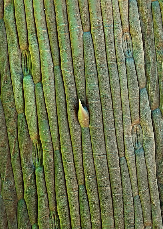 Grass trichome and stomata, SEM