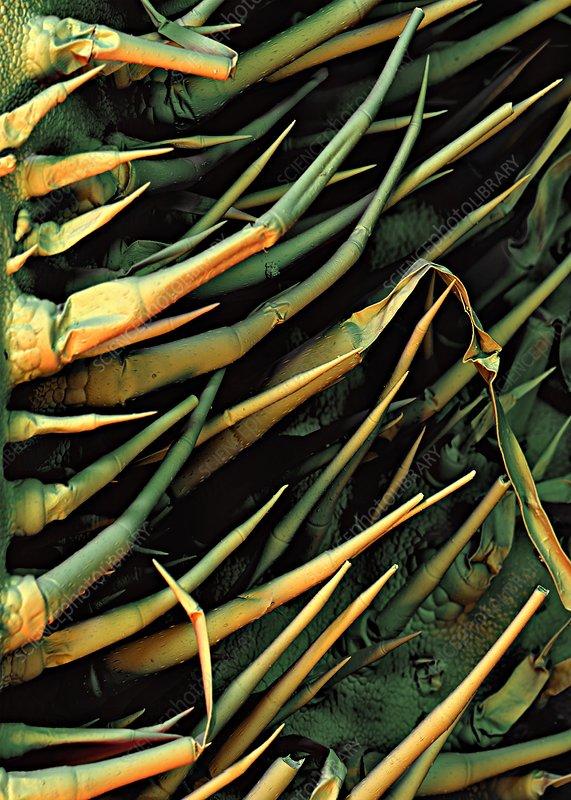 Cucumber leaf trichomes, SEM
