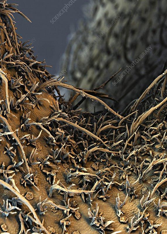 Pitcher plant trap trichomes, SEM