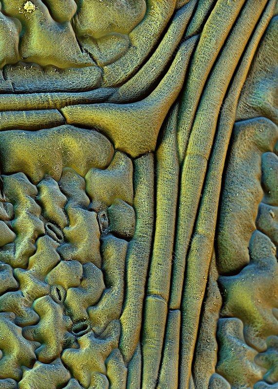 Nasturtium leaf surface, SEM