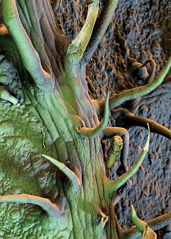 Potato leaf trichomes, SEM