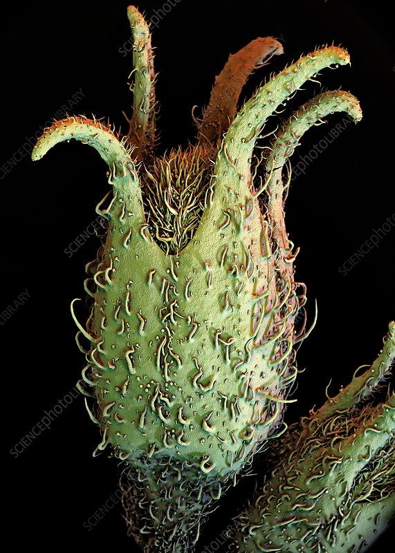 Potato plant flower, SEM