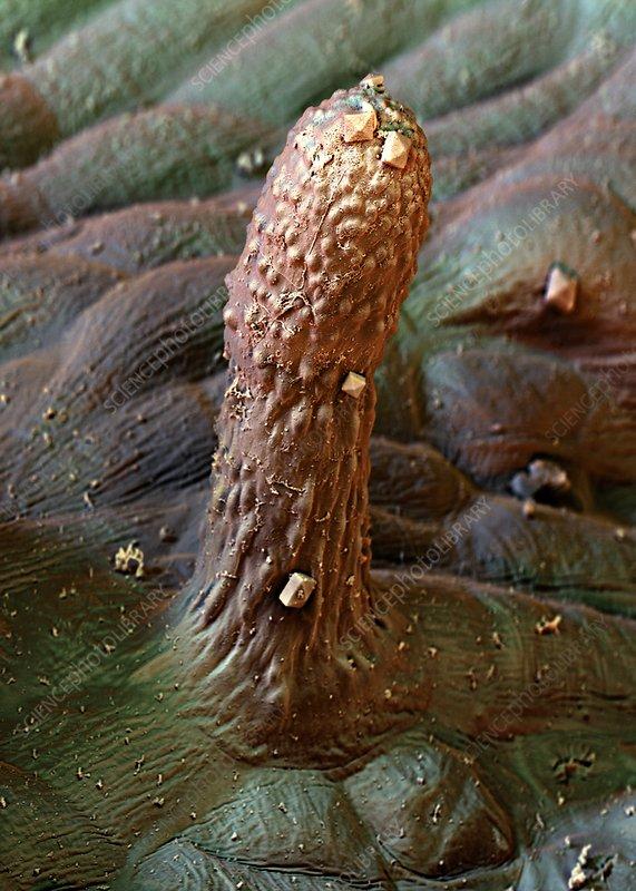 Spanish pepper leaf trichome, SEM