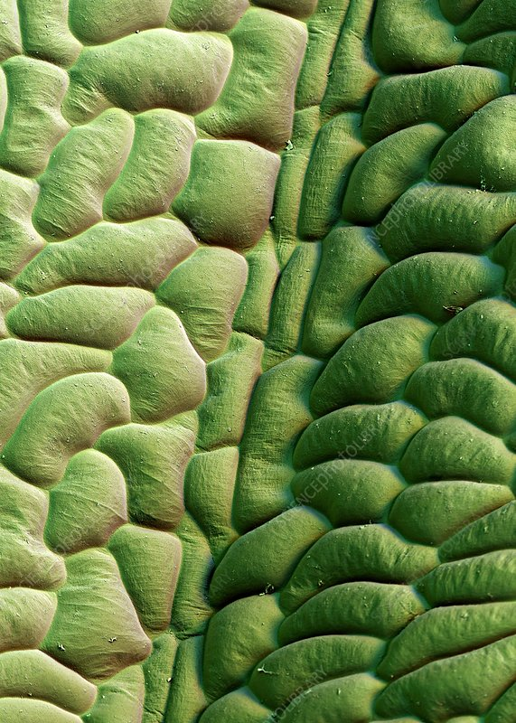 Poppy leaf surface, SEM