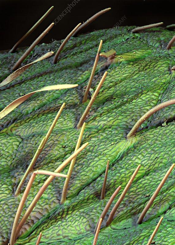 Soybean leaf trichomes, SEM