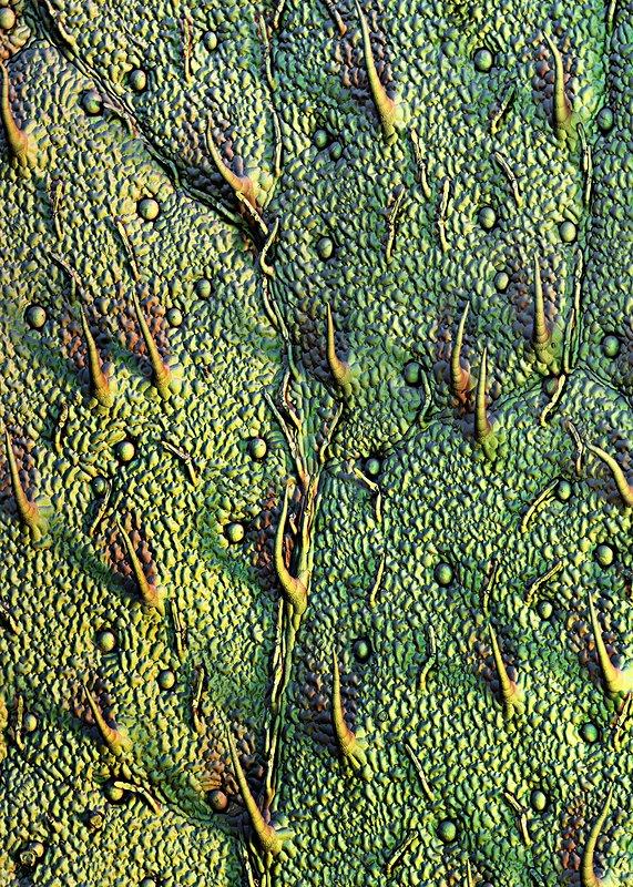 Stevia leaf trichomes, SEM