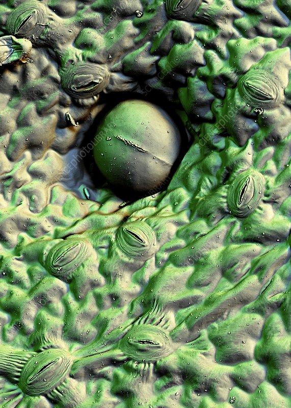 Stevia leaf trichome, SEM
