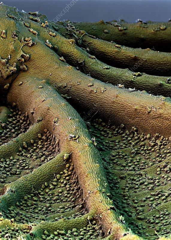 Sweet potato leaf surface, SEM