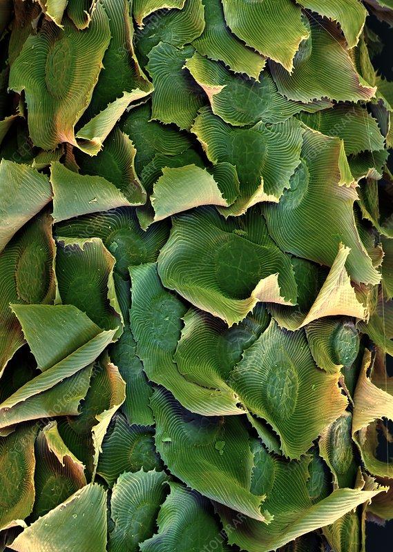 Spanish moss leaves, SEM
