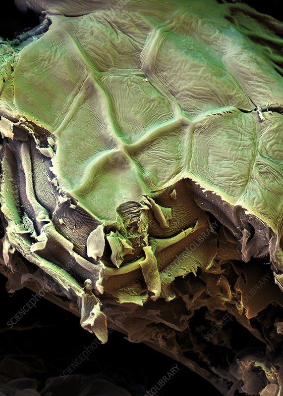 Spanish moss leaf, SEM