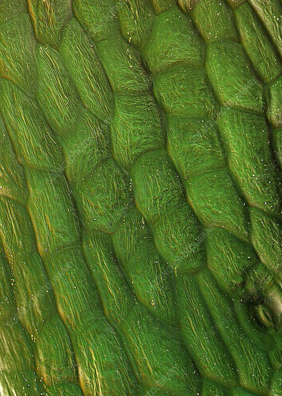 Sugar beet leaf surface, SEM