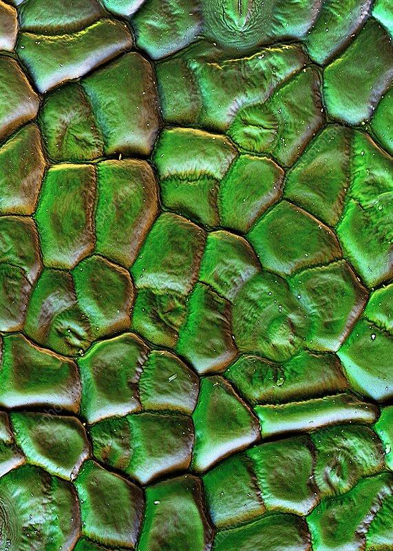 Sugar beet leaf surface, SEM