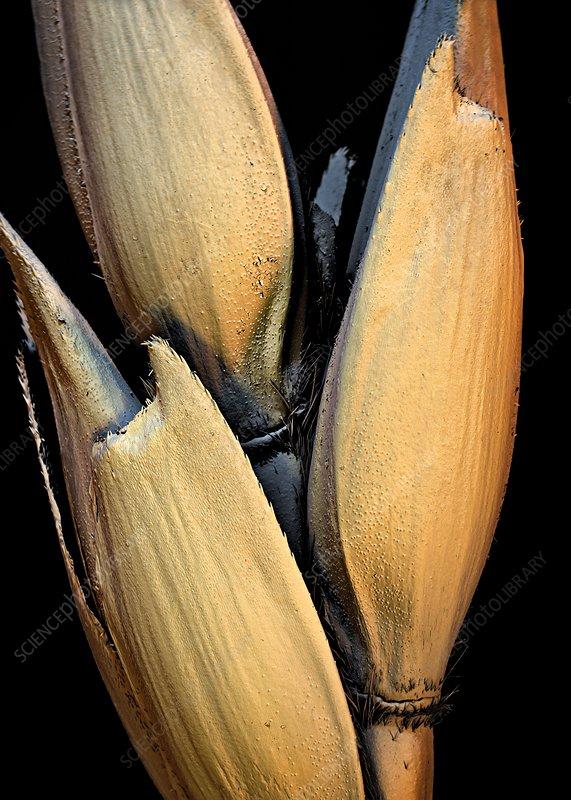 Wheat grains, SEM